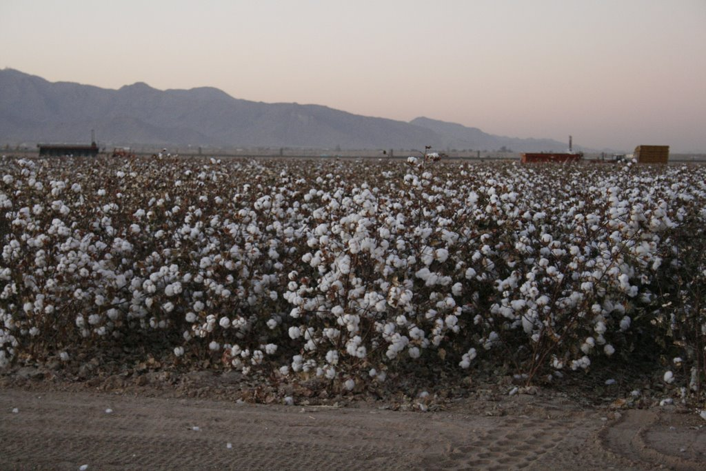 cotton fields in Buckeye